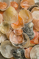 Common Jinbgle shells