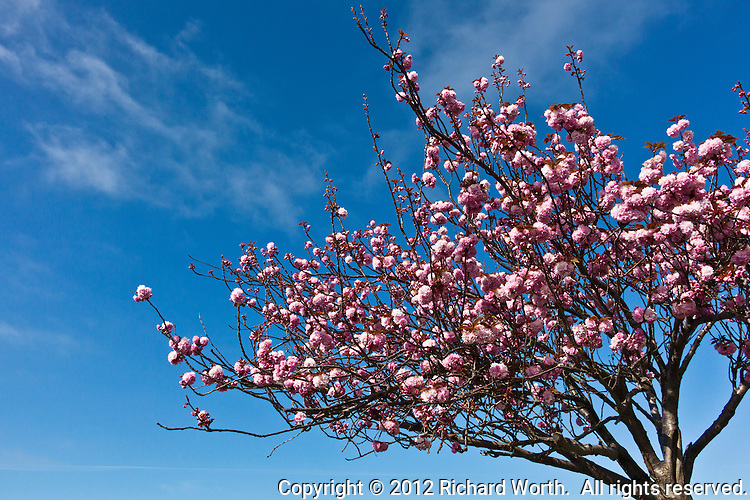 A flowering cherry tree of the Kwanzan variety against a blue sky near the boat ramp at the San Leandro Marina, San Leandro, California.
