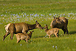 Two American elk cows, two elk calves, Cervus elaphus, meadow, wildflowers, nurturing, mothering, Estes Park, Colorado, Rocky Mountains