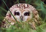 Short eared owl, Washington