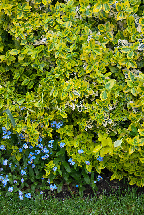 Variegated evergreen shrub Euonymus fortunei Emerald and Gold with forget-me-nots Myosotis Baby Blue for a yellow and blue color theme in spring