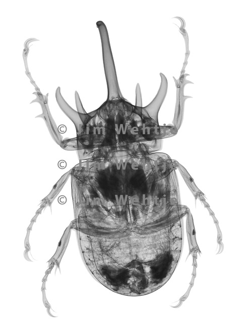 X-ray image of a rhino beetle (black on white) by Jim Wehtje, specialist in x-ray art and design images.