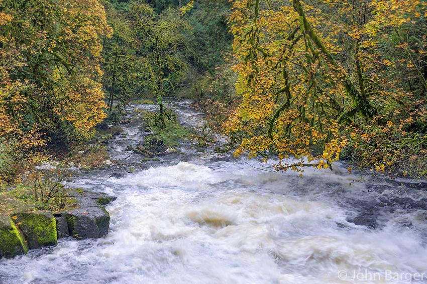 USA, Washington, Camas, Lacamas Park, Autumn colored bigleaf maple border Lower Falls on rain swollen Lacamas Creek.
