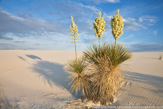 A big Yucca elata,or Soapweed, blooms in the setting sunlight at White Sands National Monument in May.