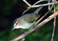 Red-eyed vireo adult