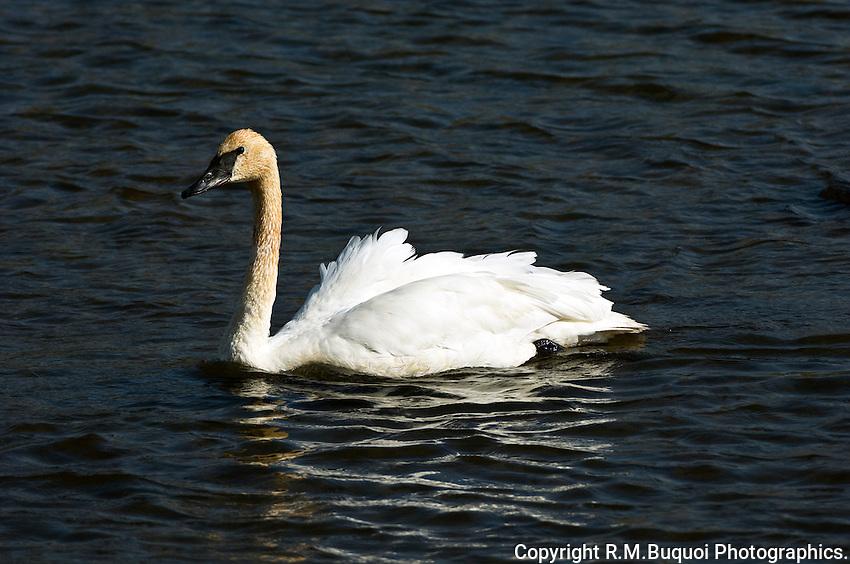 Trumpeter Swan, Jackson Hole, Wyoming