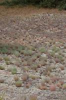 Silbergras, Silber-Gras, größerer Bestand auf einer Binnendüne, Corynephorus canescens, Grey Hair Grass