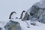 A chinstrap penguin next to a Gentoo penguin in the snow at Orne Harbour, Antarctica