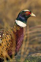 Ring-necked Pheasant (Phasianus colchicus) Western U.S.
