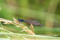 06061-00103 Eastern Red Damsel (Amphiagrion saucium) male Dent Co. MO