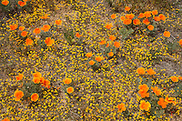 Poppies and Goldfields