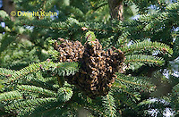 1B18-516z  Honeybees swarming to find new home, starting to form on a tree branch, Apis mellifera