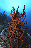 Rope Sponge..Dutch Antilles..Caribbean
