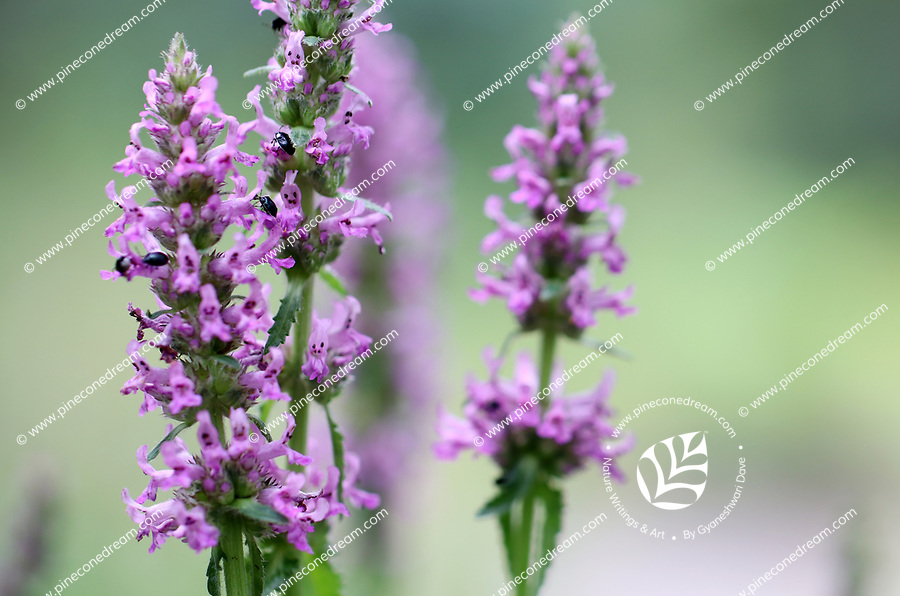 Purple anise flowers petals and bees close up- Free nature stock image.