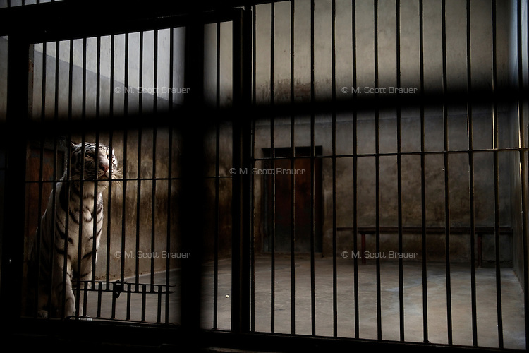 A tiger sits in a small concrete and iron cage in the lion and tiger house at the zoo in Beijing, China.