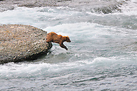 A brown bear dives into the McNeil River in search of fish,  in Alaska's McNeil River State Game Sanctuary.