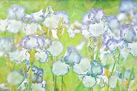Close up of Iris. Presby's Crown Jewel. Schneider's Gardens. Oregon