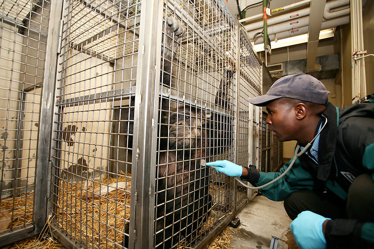 Asaba Mukobi in a training session with Charlie the chimpanzee at the Oregon Zoo. © Oregon Zoo / photo by Carli Davidson