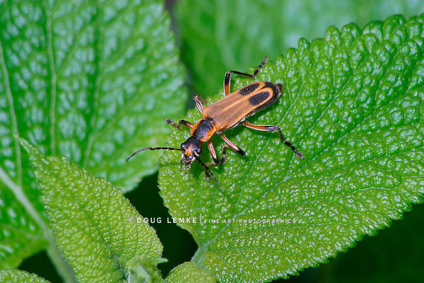 A Flying Insect Resting On A Green Leaf, The Pennsylvania Leatherwing, Chauliognathus pennsylvanicus, Southwestern Ohio