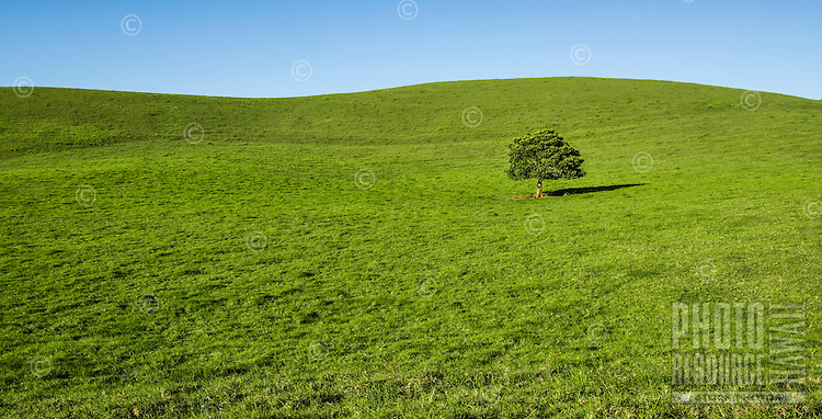 A lone tree stands on a green rolling hill along the Kohala Mountain Road, North Kohala, Big Island of Hawai'i.