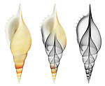 X-ray blend study of a Martini's tibia shell (Rostellariella martinii, on white) by Jim Wehtje, specialist in x-ray art and design images.