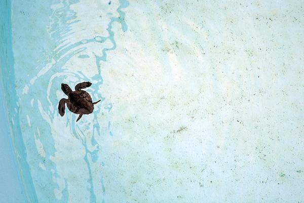 A baby sea turtle in the Sea Turtle Pool at the Okinawa Churaumi Aquarium at Ocean Expo Park.