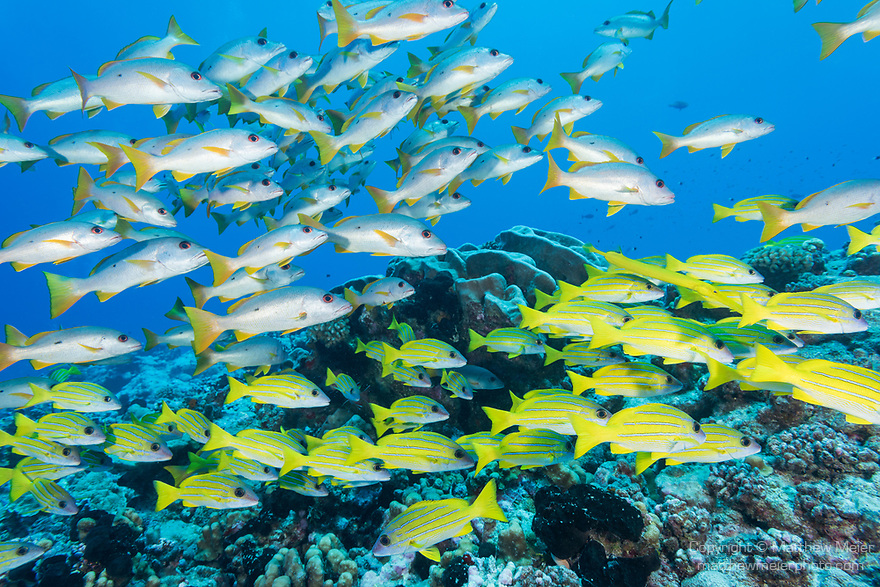 Toau Atoll, Tuamotu Archipelago, French Polynesia; an aggregation of onespot and bluestriped snapper fish swimming over the coral reef