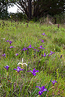 California native plant meadow garden lawn substitute with Iris and grasses