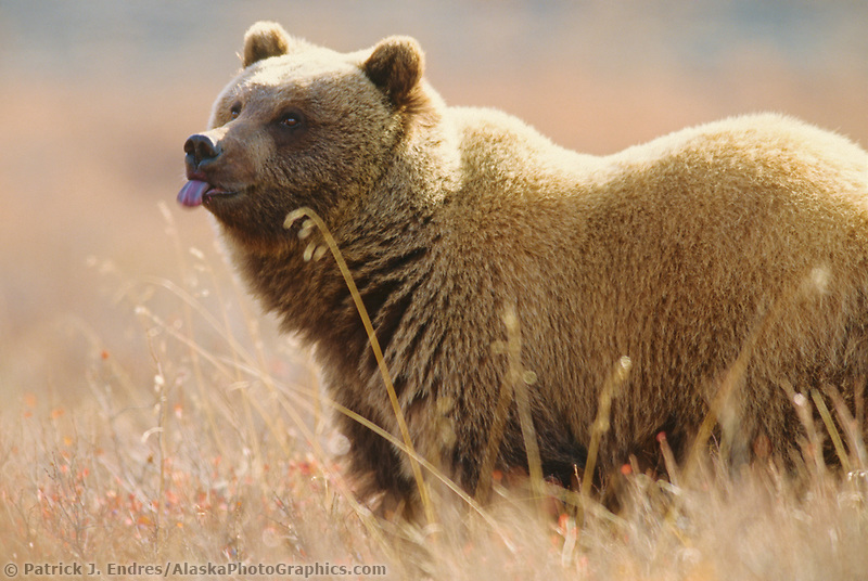 Grizzly bear, blue tongue from eating blueberries, autumn tundra grasses, Denali National Park, Alaska