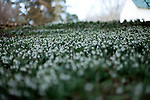 February 2, 2012. Hillsborough, NC..  Flowering snow drops line the slopes leading out of the wooded areas of the property..  Nancy Goodwin, who used to run a mail order nursery for rare bulbs, has now preserved her gardens, which in winter, have thousands of blooming flowers and plants, including many rare species which she has cultivated and planted from seeds.