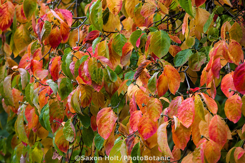 Autumn leaf color, Dogwood tree, Cornus 'Eddie's White Wonder'; Gay Edelson garden in Lafayette, California with fall color