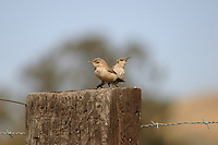 FLEDGLING WREN OUT WITH MOM