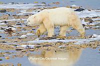 01874-13102 Polar Bear (Ursus maritimus) walking along the edge of Hudson Bay during low tide Churchill Wildlife Management Area, Churchill, MB