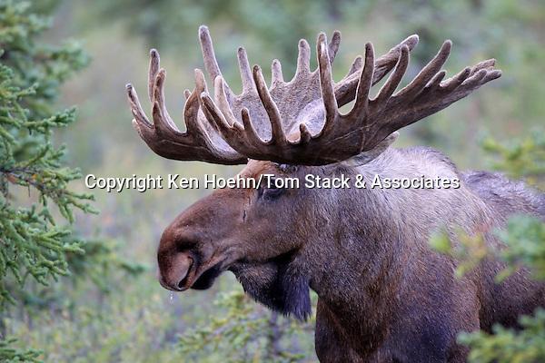 A Bull Moose (Alces americanus) poses for a close up.  Denali NP, Alaska