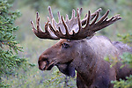 A Bull Moose (Alces americanus) poses for a close up.  Denali NP, Alaska