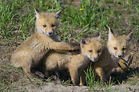 Fox kits playing outside their den