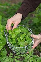 Gewöhnliche Knoblauchsrauke, Ernte, ernten, sammeln, in einem Korb, Knoblauchrauke, Knoblauch-Rauke, Knoblauchs-Rauke, Lauchkraut, Blatt, Blätter, Alliaria petiolata, Hedge Garlic, Jack-by-the-Hedge, Alliaire