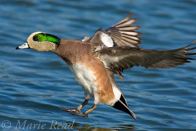 American Wigeon (Anas americana) male landing on water, California, USA