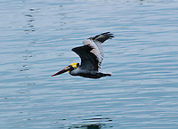 California Brown Pelican in flight over Monterey Bay