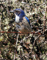 Western scrub-jay Pacific form adult