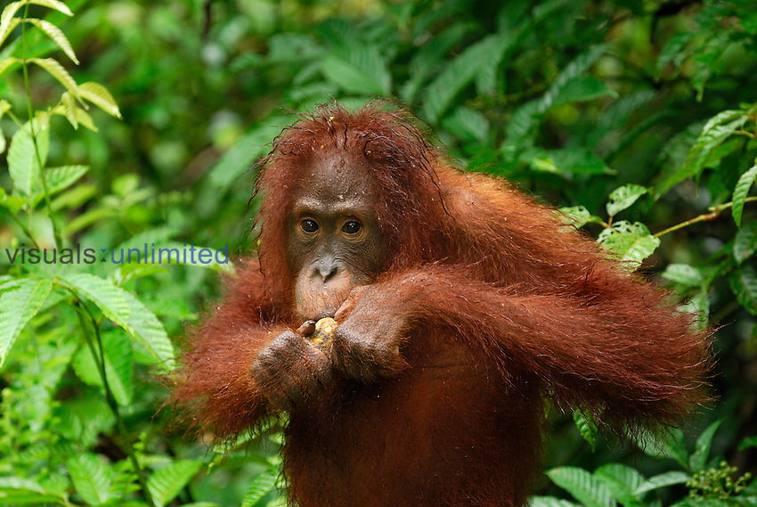 Borneo Orangutan eating (Pongo pygmaeus), Camp Leaky, Tanjung Puting National Park, Kalimantan, Borneo, Indonesia.