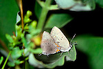 Acadian hairstreak butterfly Satyrium acadicum