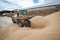 Loading wheat from outside grain storage - Lincolnshire, August