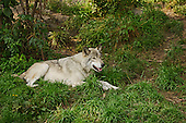 Wolf resting