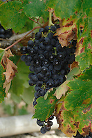 Black grapes ready for harvesting vineyard, San Miguel, Tenerife, Canary Islands, Spain.