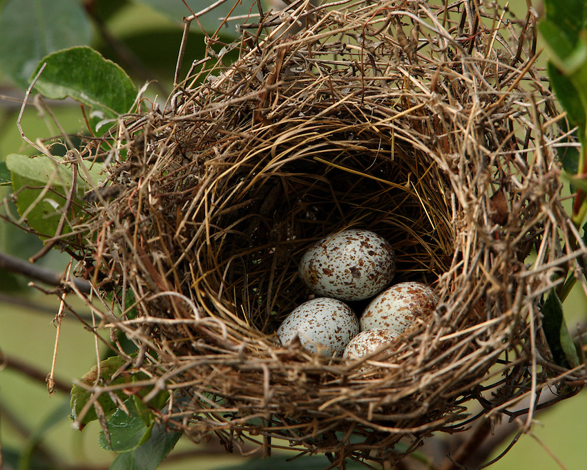 Cardinal nest in Spring.