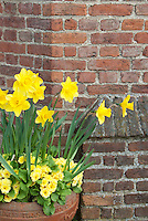 Spring container garden of yellow Narcissus daffodils with yellow perennial primroses in terracotta pot against brick wall