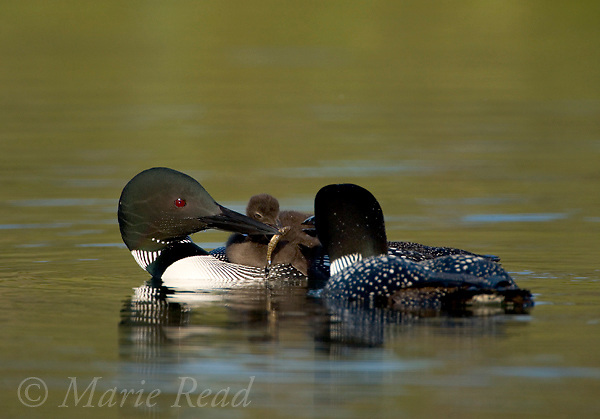 Common Loon family, (Gavia immer) one parent feeds a fish to the chick riding on its back, Michigan, USA