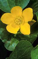 Sumpf-Dotterblume, Sumpfdotterblume, Sumpf - Dotterblume, Caltha palustris, Kingcup, Marsh Marigold, Populage des marais