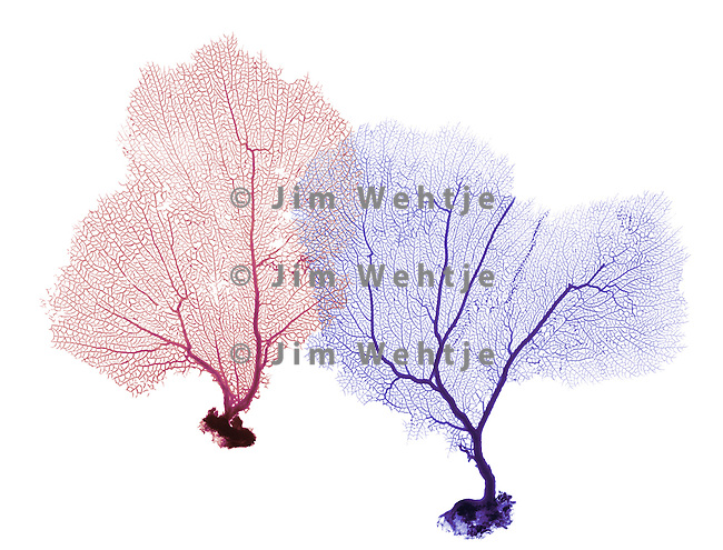 X-ray image of two sea fans (color on white) by Jim Wehtje, specialist in x-ray art and design images.